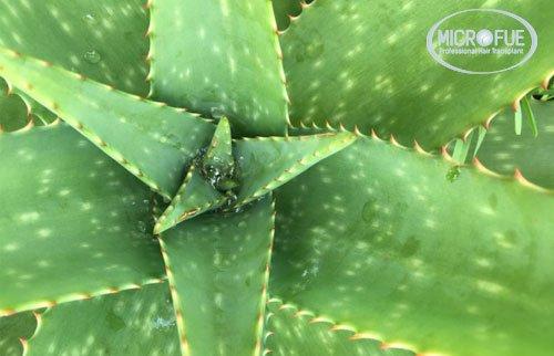 Aloe Vera Para El Pelo