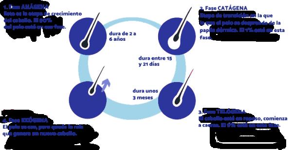 ciclo explicativo del crecimiento del pelo