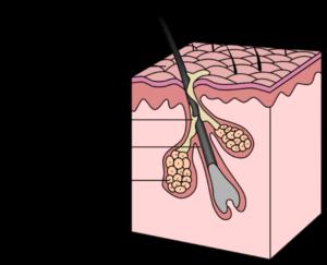estructura_folículo_piloso