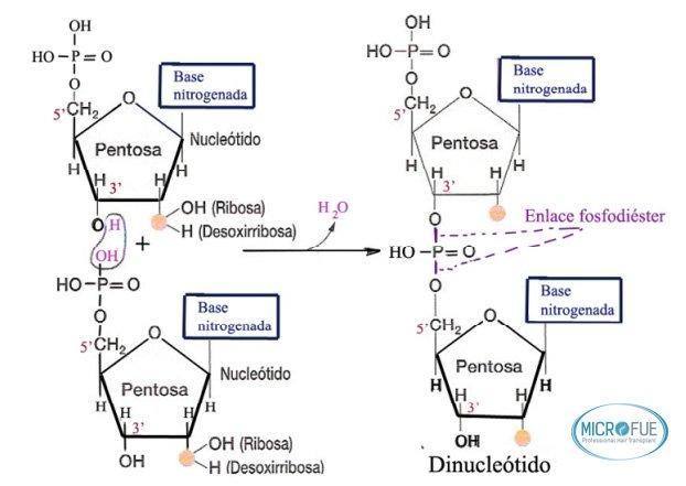 esquema_polinucleotidos_tratamiento_capilar